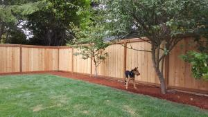Cedar Pickets Pressure Treated Top Rails Fence Before Timber Oil Warm Honey Gold